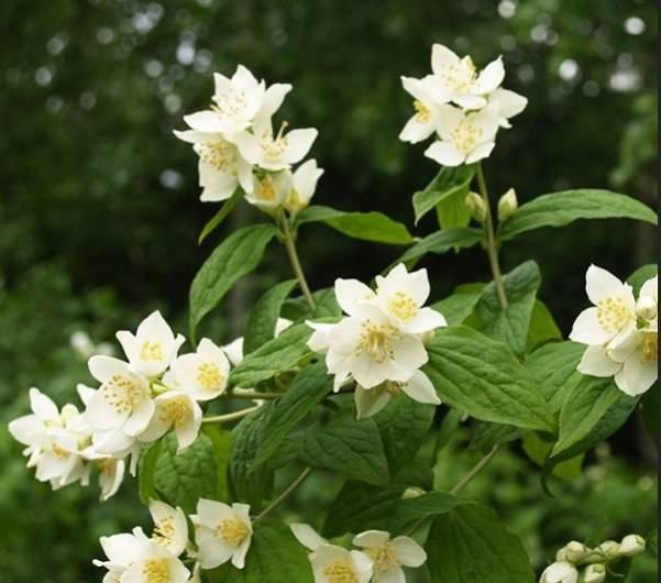 Садовый жасмин: правила посадки и выращивания