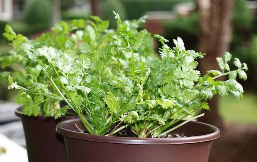 Выращиваем ароматный кориандр: когда, где и как сажать