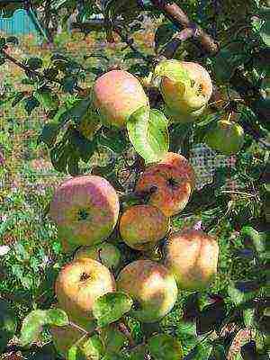 Яблони для урала - 7 лучших сортов
