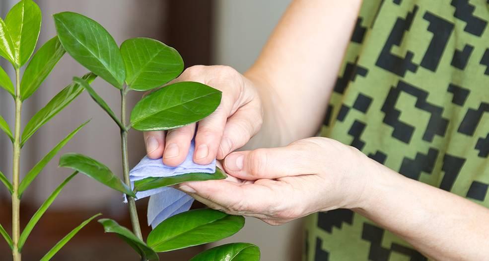 Уход за цветком замиокулькас в домашних условиях и его размножение