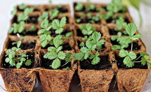 Клубника из семян: выращивание, дачные хитрости