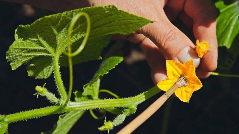 Почему желтеют завязи у огурцов в открытом грунте, что делать