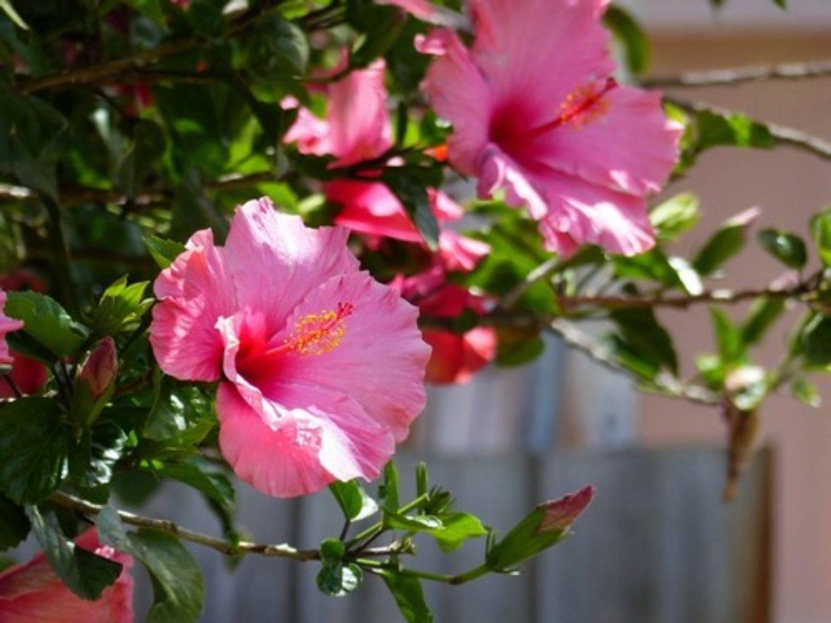 Гибискус садовый – выращивание и уход