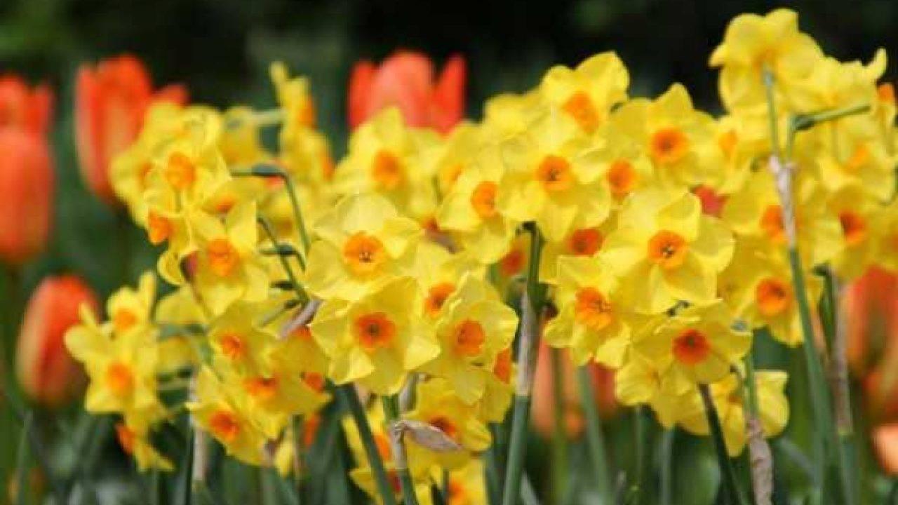 Амариллис цветок — декоративные разновидности