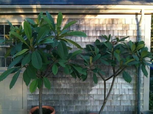Пышноцветущая тропиканка — дипладения: уход в домашних условиях, выращивание и размножение, фото
