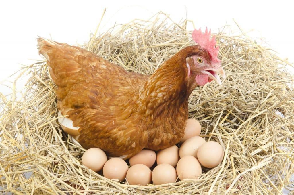 Могут ли куры нести яйца без петуха, какую роль в курятнике выполняет петух и можно ли обойтись без него? мифы и их опровержения