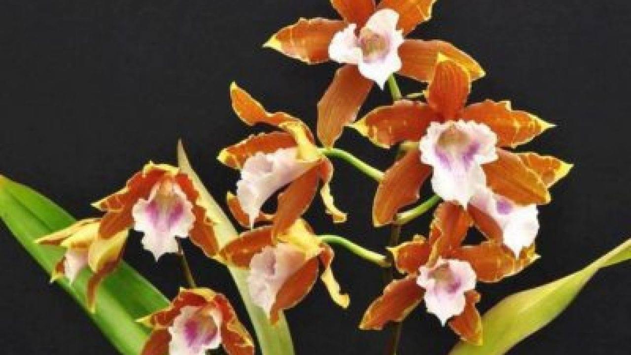 Как в домашних условиях размножать орхидею фаленопсис?