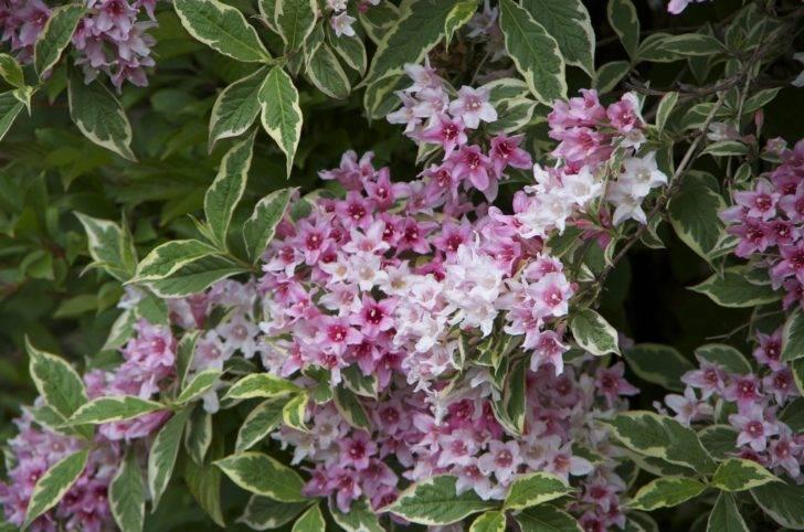 Все о цветущем кустарнике вейгела