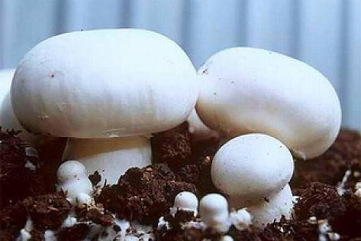 Шампиньоны в домашних условиях — технология выращивания и описание условий содержания при выращивании (105 фото)