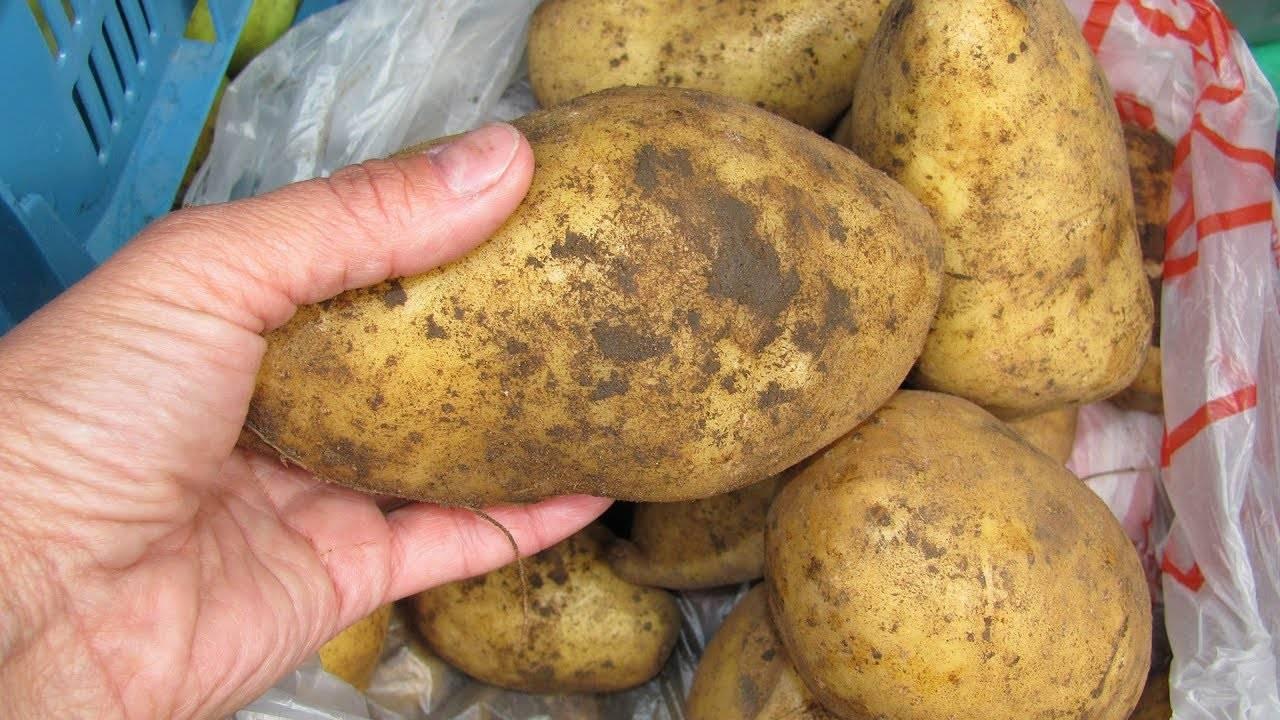 Описание болезней картофеля и их лечение