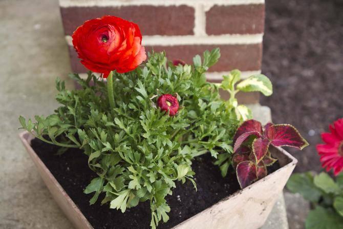 Лютики садовые: посадка и уход