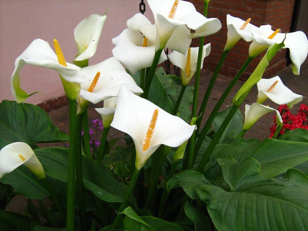 Калла в домашних условиях: выращивание и размножение