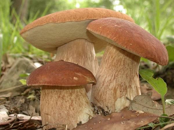 Учимся правильно собирать грибы без ущерба природе