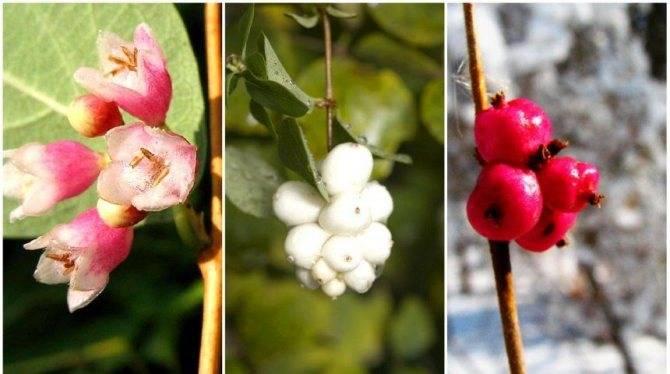 Снежноягодник белый: описание, семейство, лечебные свойства, посадка и уход, размножение, фото