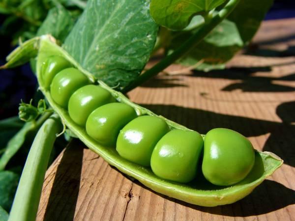 Как правильно подготовить семена гороха для высадки в открытый грунт