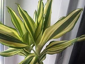Комнатное растение драцена - уход, полив, пересадка, размножение