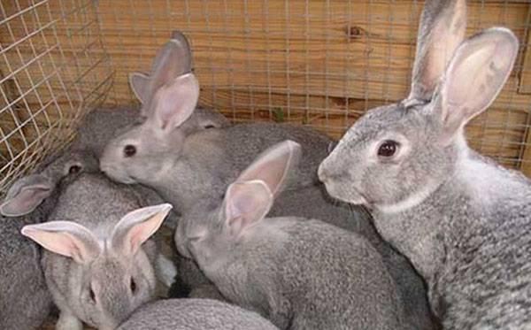 Разведение кроликов как бизнес: выгодно или нет?