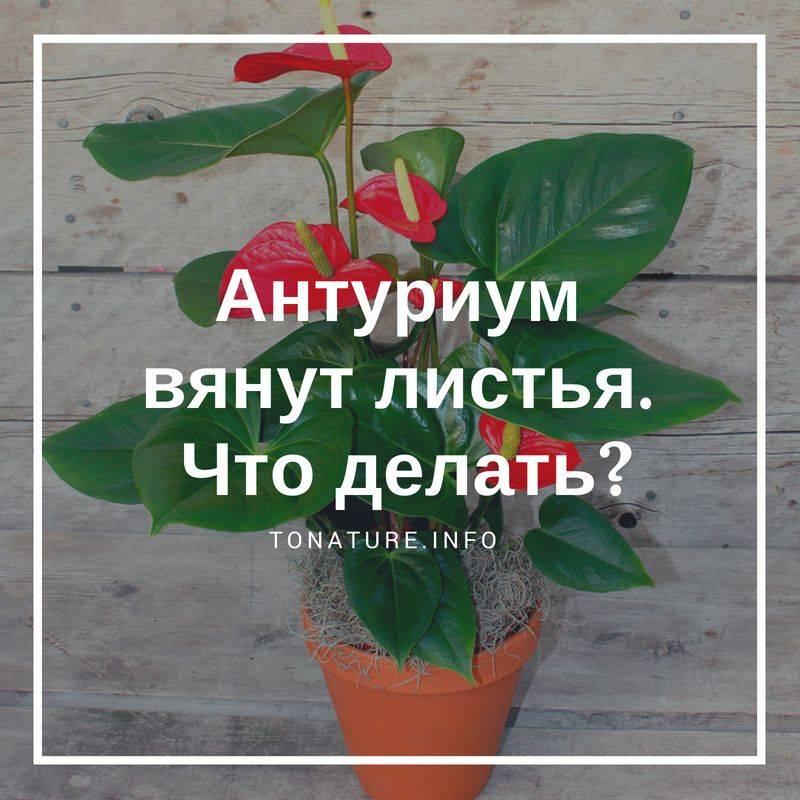 Антуриум — уход в домашних условиях: почему сохнут листья