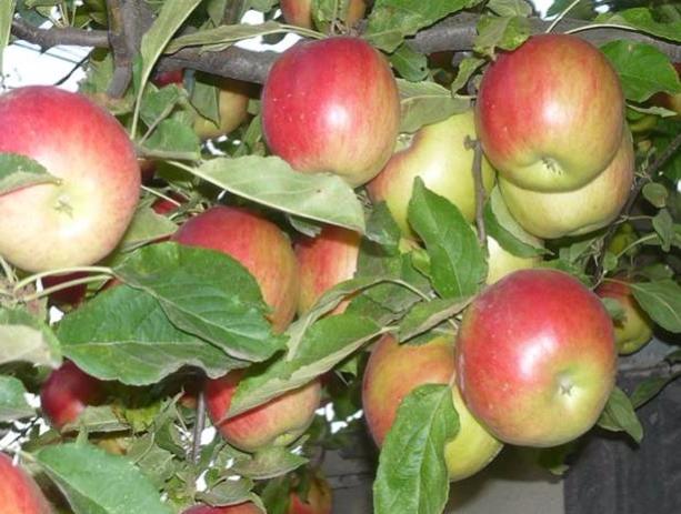 Яблочный уксус в домашних условиях — простой пошаговый рецепт