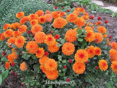 Хризантема кустовая: разновидности, посадка и уход, размножение