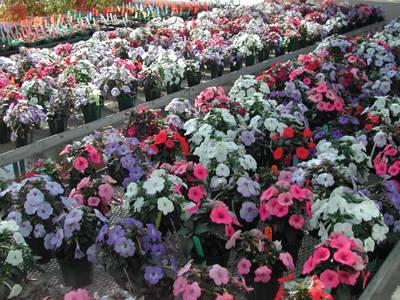 Ахименесы: посадка, уход, выращивание и секреты цветения