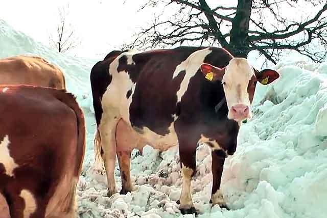 С чего начать фермерский бизнес по разведению коров?