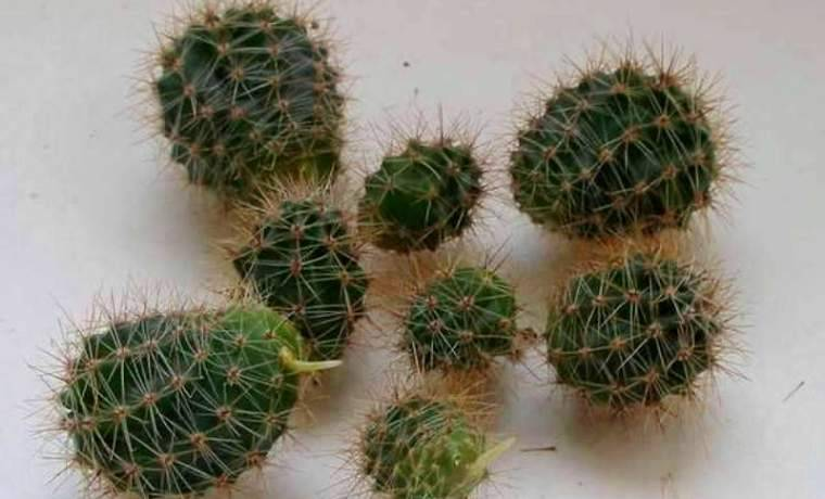 Размножение кактусов черенками и прививкой