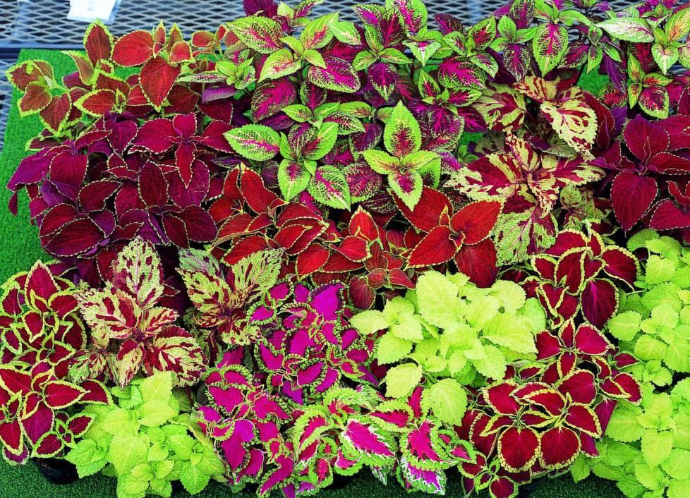 Цветок колеус: уход в домашних условиях, фото, выращивание в саду из семян