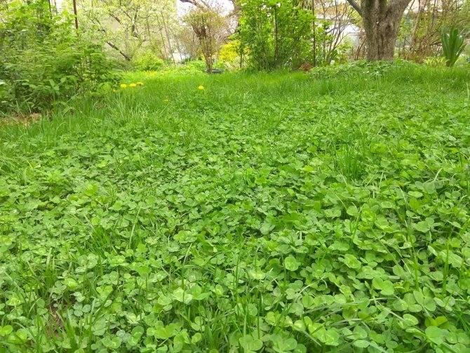 Белый клевер ползучий: как и когда сажать, сорт для газона, польза и вред для огорода