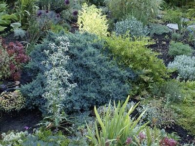 Можжевельники в саду — виды и использование