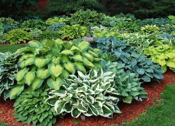 Хоста гибридная: описание, сорта, рекомендации по выращиванию