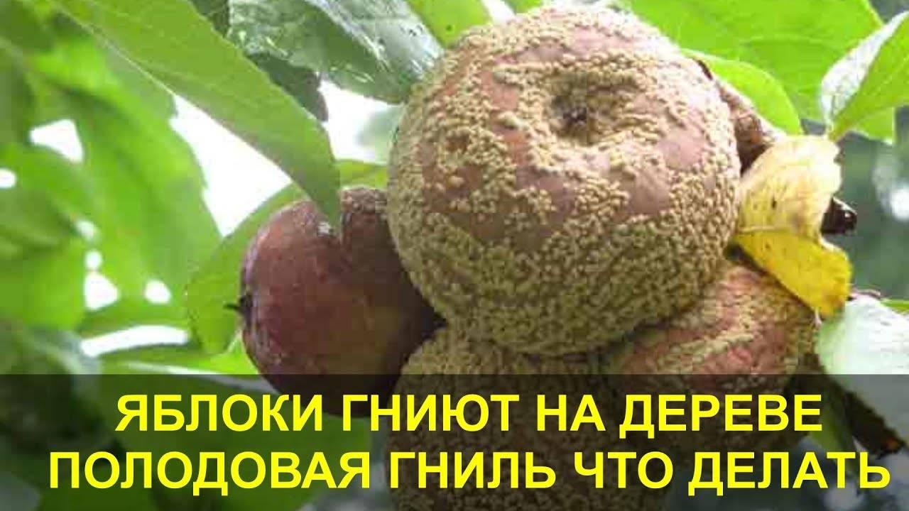 Что делать, если у яблони чернеет ствол