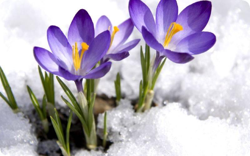 Подборка из 16 лучших ранних цветов для украшения дачного участка