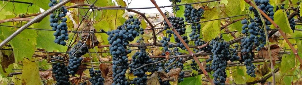 Железный купорос для винограда осенью, сроки обработки
