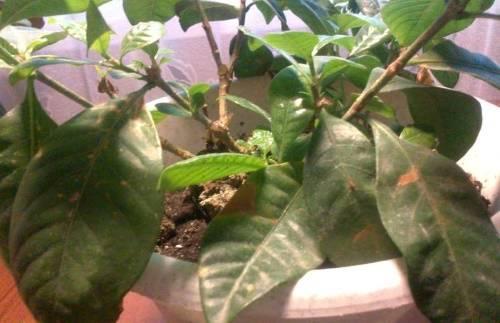 Капризное растение: почему у гардении чернеют, желтеют и опадают листья?