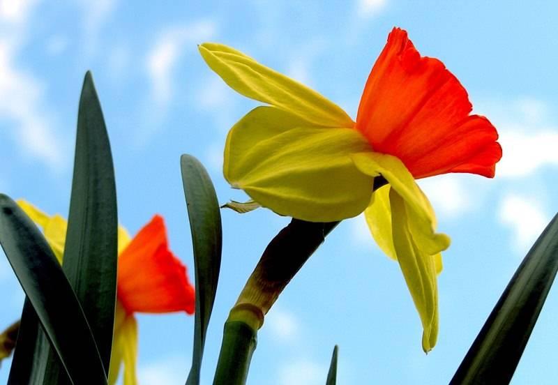 Нарциссы — сорта с фото и названиями, как выглядят желтые, белые, розовые нарциссы, видео