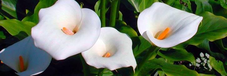Выращивание каллы в саду и правильный уход за растением