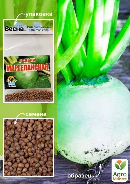 Редька маргеланская — полезные свойства, выращивание и уход