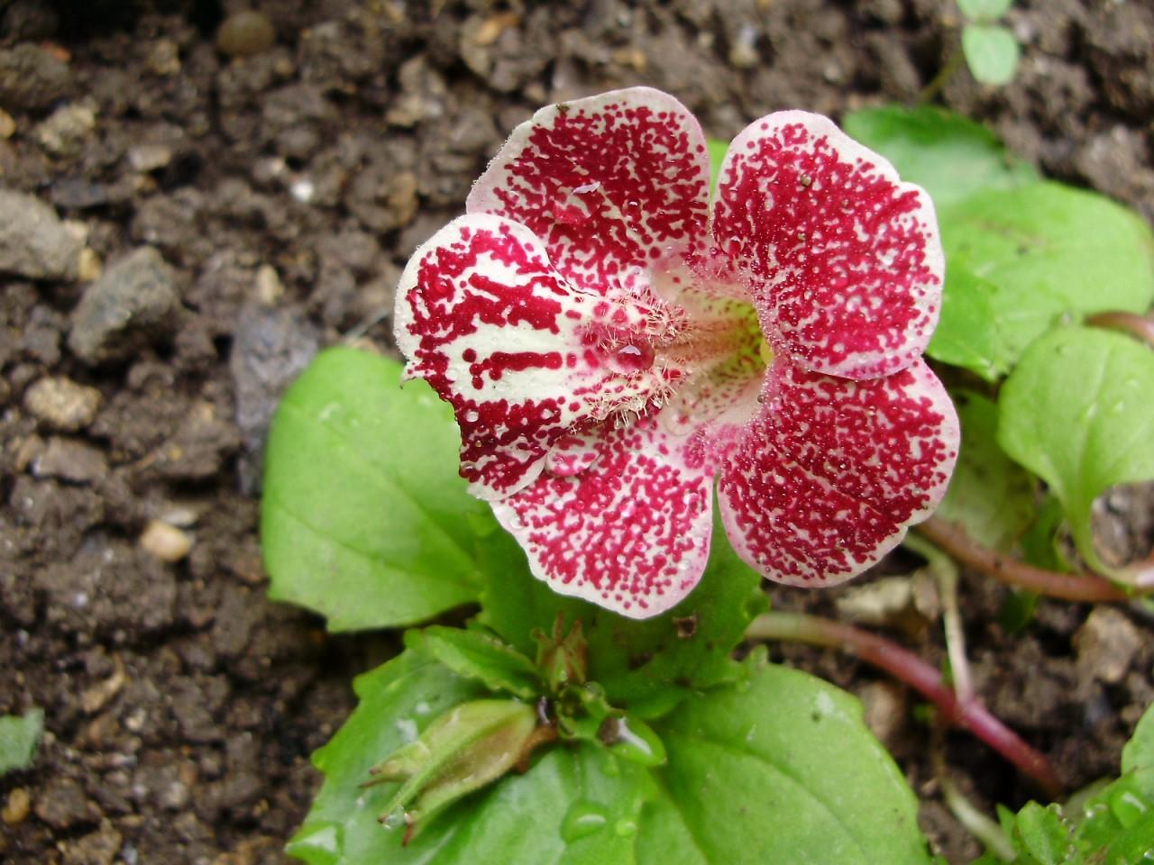 Когда сажать мимулюс при выращивании из семян?