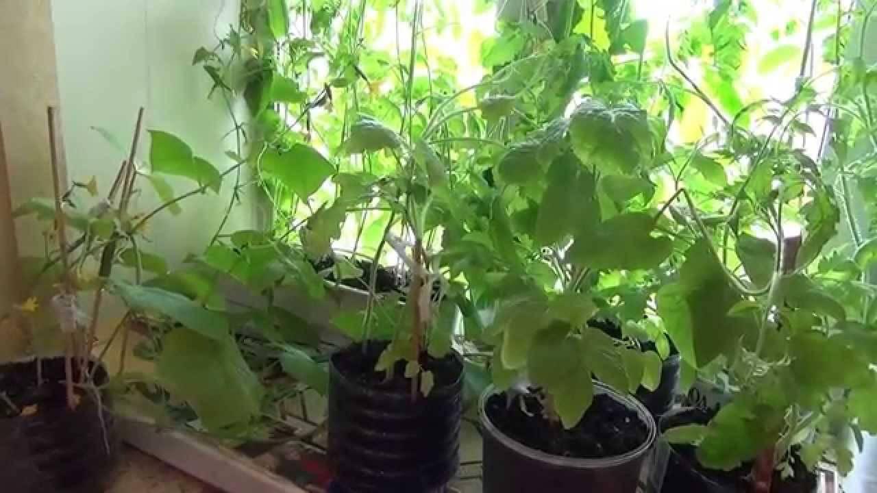Огурцы зимой на подоконнике. лучшие сорта огурцов для выращивания зимой на подоконнике.
