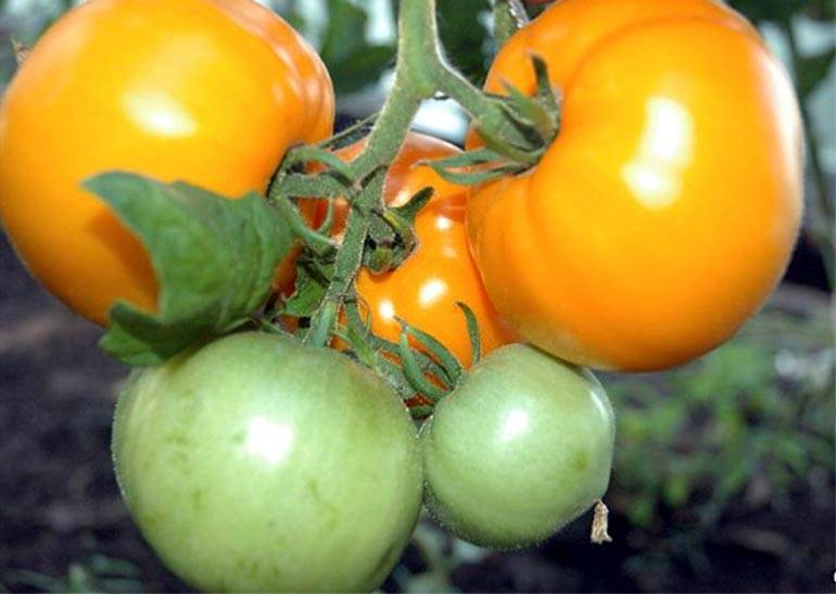Томат хурма — сорт, оправдывающий название
