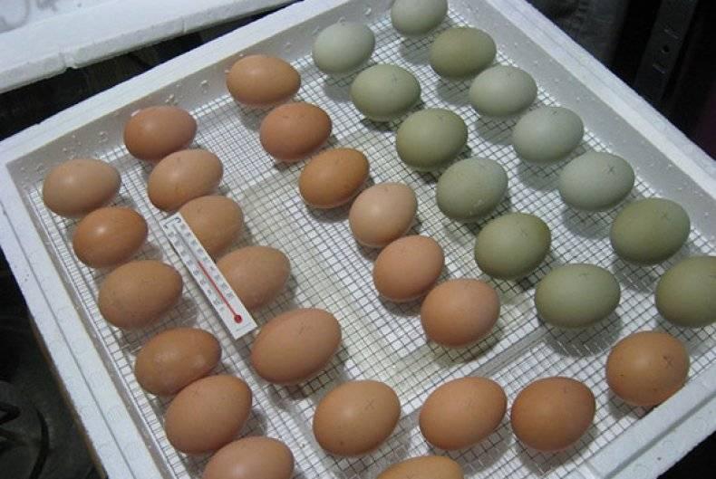 Температура в утином инкубаторе и нужно ли мыть яйца перед закладкой