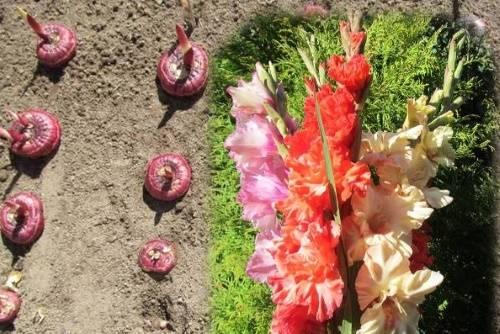 Сроки посадки гладиолусов в открытый грунт и на рассаду