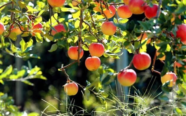 Яблоня медовая