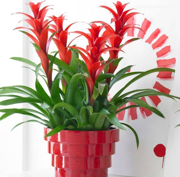 Комнатный цветок вриезия: уход в домашних условиях