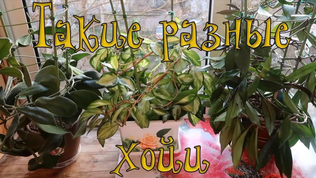 Хойя обовата: особенности выращивания красавицы-лианы