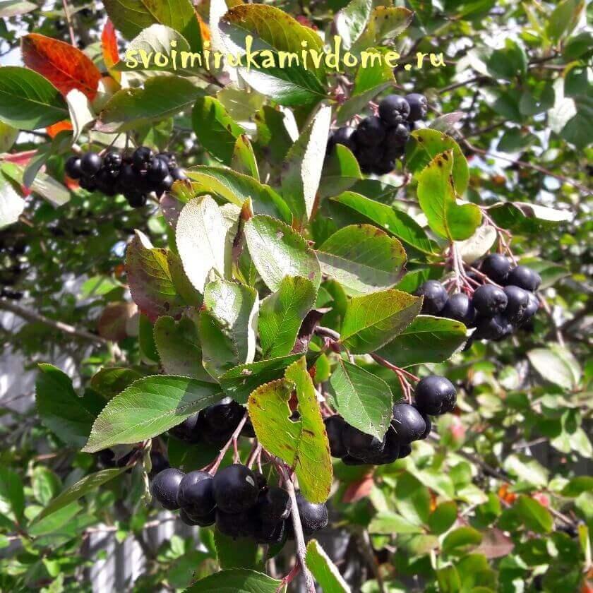 Дерево арония черноплодная рябина (aronia ) и его выращивание