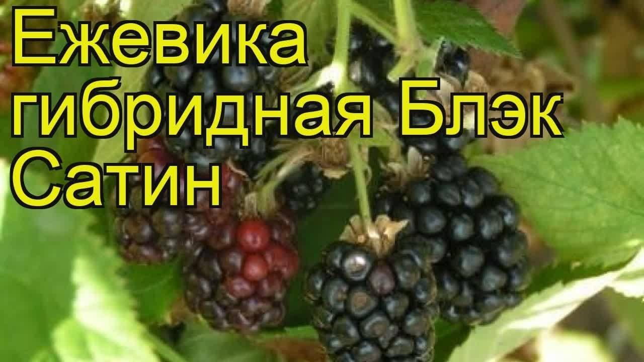Ежевика агавам