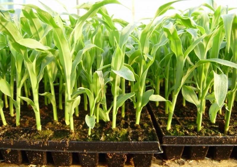 Как вырастить кукурузу лучше, чем у соседа – инструкция от а до я!