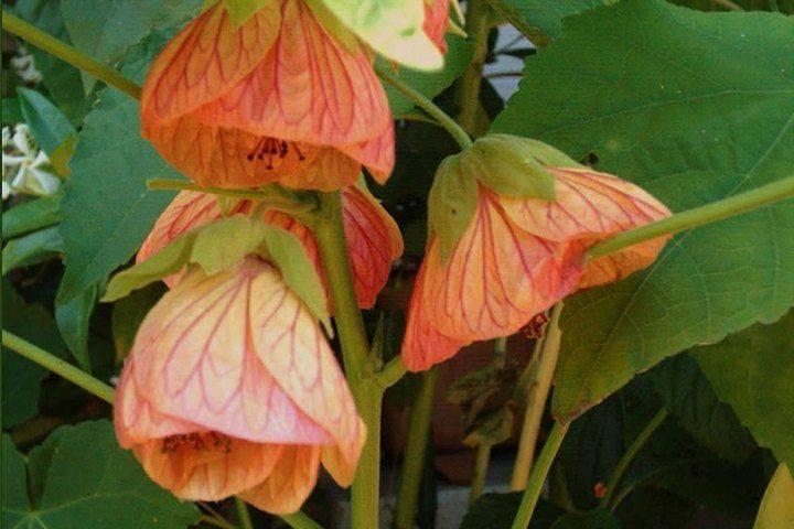 Как вырастить цветок абутилон из семян в домашних условиях